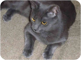 Domestic Shorthair Cat for adoption in Little Falls, New Jersey - WRIGGLEY (DS)