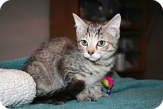 Domestic Shorthair Kitten for adoption in Santa Rosa, California - Magnolia
