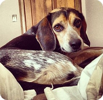 Beagle Dog for adoption in Indianapolis, Indiana - Shadow