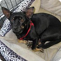 Adopt A Pet :: Auggie - Van Nuys, CA