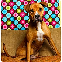 Boxer Mix Dog for adoption in Baton Rouge, Louisiana - Kayo