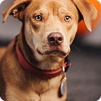 Adopt A Pet :: Jumping Jack Flash - Portland, OR