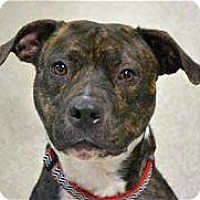 Adopt A Pet :: Brenda Lee Barnbuster - Troy, MI