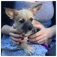 Adopt A Pet :: CHARLIE B - West LA, CA