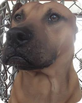 Black Mouth Cur/Pit Bull Terrier Mix Dog for adoption in Camilla, Georgia - Toby