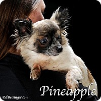 Adopt A Pet :: Pineapple - Indianapolis, IN
