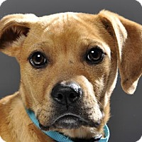 Adopt A Pet :: Sapphire - Danbury, CT