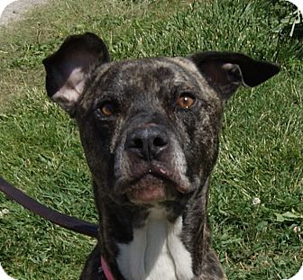 Mastiff Mix Dog for adoption in Monroe, Michigan - Creed