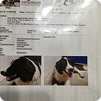Border Collie/Australian Shepherd Mix Dog for adoption in Parker, Kansas - Willie