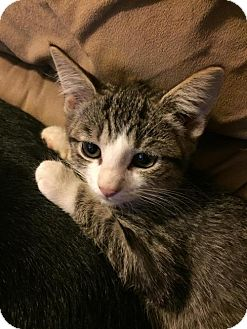 Domestic Shorthair Kitten for adoption in Hampton, Virginia - Miss Moppet