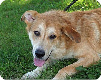 Collie/Golden Retriever Mix Dog for adoption in Joliet, Illinois - Excel