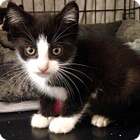 Adopt A Pet :: Skimbleshanks - River Edge, NJ