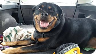 Rottweiler Mix Dog for adoption in Frederick, Pennsylvania - Oakley