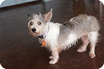Schnauzer (Miniature)/Terrier (Unknown Type, Small) Mix Dog for adoption in San Antonio, Texas - Brooklyn