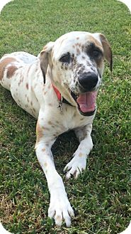 Catahoula Leopard Dog/Pointer Mix Dog for adoption in Lake Jackson, Texas - Beau
