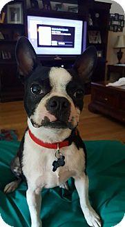 Boston Terrier Dog for adoption in Katy, Texas - Alvin