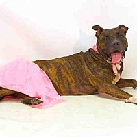 Pit Bull Terrier Mix Dog for adoption in Sanford, Florida - MARCY