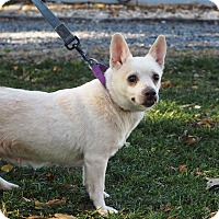 Chihuahua Mix Dog for adoption in Whitehall, Pennsylvania - Nena