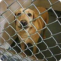 Adopt A Pet :: 16-11-3548 Yeller - Dallas, GA