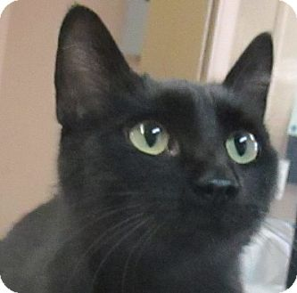 Domestic Shorthair Cat for adoption in Lloydminster, Alberta - Penelope