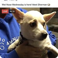 Chihuahua/Jack Russell Terrier Mix Dog for adoption in Saginaw, Michigan - Sherman