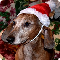 Dachshund Dog for adoption in Spokane, Washington - Cooper, 9, dapple, $250 fee