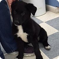 Adopt A Pet :: Dixie Belle - Hazard, KY