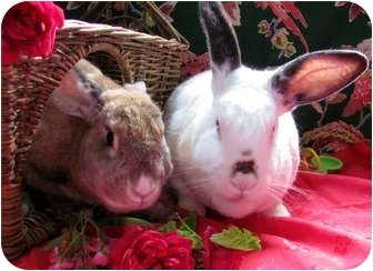 Californian Mix for adoption in Huntsville, Alabama - Babar And Celeste
