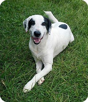 Border Collie/Labrador Retriever Mix Dog for adoption in Williston, Florida - Ranger