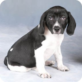 Beagle/Springer Spaniel Mix Puppy for adoption in Chicago, Illinois