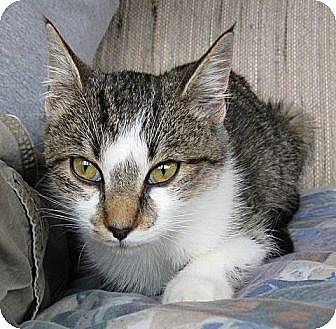 Domestic Longhair Cat for adoption in Rutledge, Tennessee - Splenda