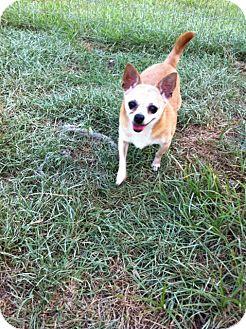 Chihuahua Dog for adoption in Baton Rouge, Louisiana - Tater