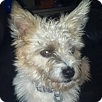 Adopt A Pet :: *Penny - PENDING - Westport, CT