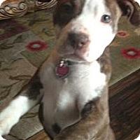 Adopt A Pet :: Bailey - Shirley, NY