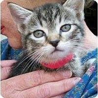 Adopt A Pet :: Celine (Nutmeg) - Reston, VA