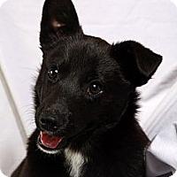 Adopt A Pet :: Devie Border Collie Mix - St. Louis, MO