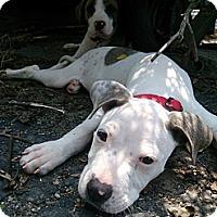Adopt A Pet :: Vanilla Bean - Plainfield, IL