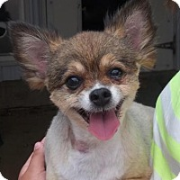 Yorkie, Yorkshire Terrier/Chihuahua Mix Dog for adoption in Newell, Iowa - Lincoln