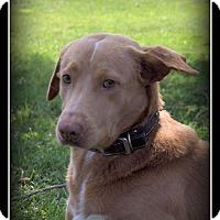 Adopt A Pet :: Cory - Indian Trail, NC