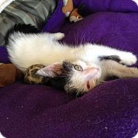 Adopt A Pet :: Josie - Island Park, NY