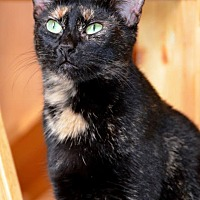 Calico Cat for adoption in Jackson, Mississippi - Sarah