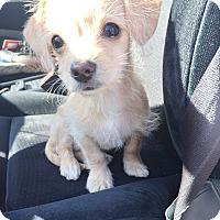 Adopt A Pet :: Amora - Brea, CA