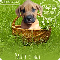 Adopt A Pet :: Pauly - West Hartford, CT