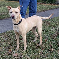 Labrador Retriever/Pit Bull Terrier Mix Dog for adoption in Dallas, Texas - Dixie Lab