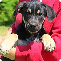 Adopt A Pet :: Moti~meet me~ - Glastonbury, CT