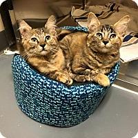 Adopt A Pet :: Anacapa - Chicago, IL