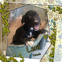 Adopt A Pet :: Leni in CT - Manchester, CT