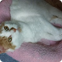 Adopt A Pet :: Twinkie Boy - Whitestone, NY
