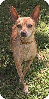 Chihuahua Mix Dog for adoption in Boca Raton, Florida - Houdini