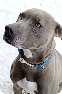 Pit Bull Terrier/Weimaraner Mix Dog for adoption in Douglas, Wyoming - Jade